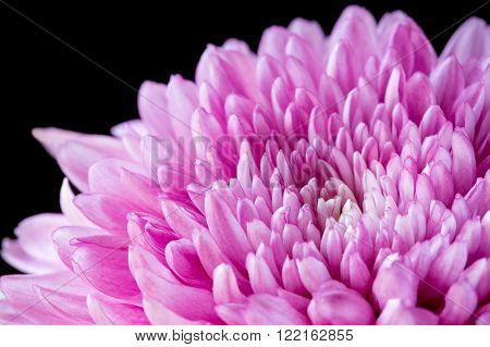 Close up pink chrysanthemum on a black background
