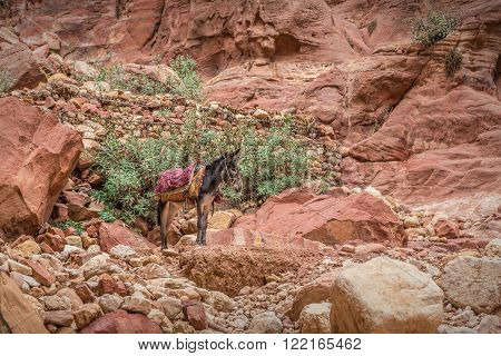 Bedouin donkey resting surrounded by the rose red landscape Petra Jordan. Petra is one the New Seven Wonders of the World.