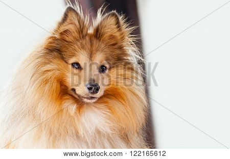 a shetland sheepdog looks to the camera