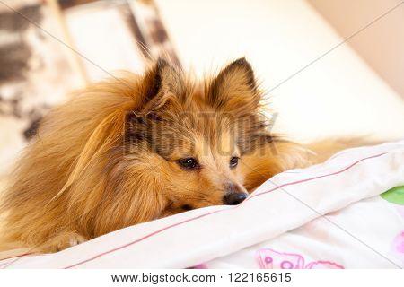 a young shetland sheepdog sleeps on bed