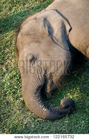 Little young Nepalese elephant lying on the grass. Elephant Breeding Centre in Chitwan Nepal