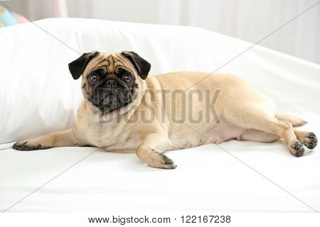 Pug dog lying in bed