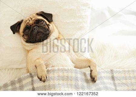 Pug dog lying in bed under blanket