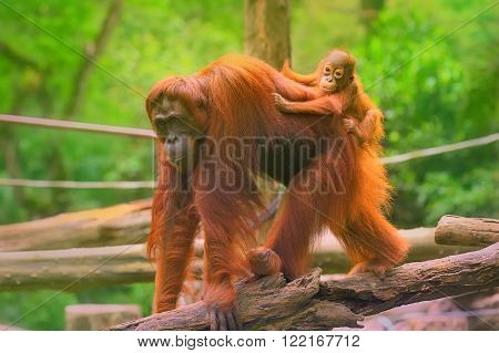 Young orangutan is sleeping on its mother.