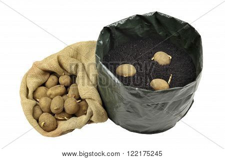Planting seed potatoes in a growing bag container of compost for space saving variety 'Picasso'.