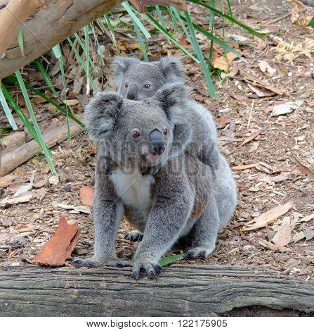 Cute Koala and baby Koala on the ground