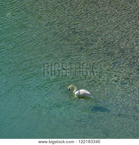 A lone swan in calm clear water.