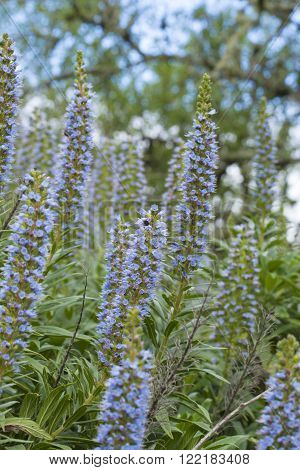 Flora of Gran Canaria - Echium callithyrsum, Blue bugloss of Gran Canaria, endemic and vulnerable specia, flowers around Tenteniguada, Valsequillo municipality