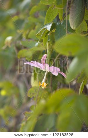Pink Flower Of Passiflora Tarminiana