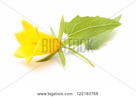 Canarina canariensis, Canarian Bellflower isolated on white