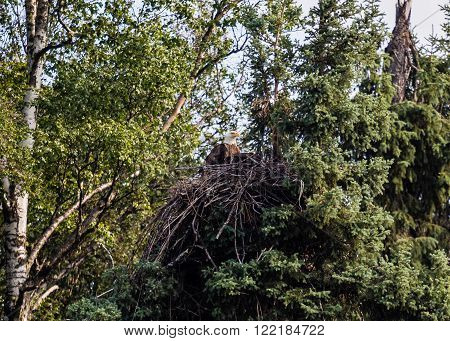 Bald eagle tending its nest over the Chena River in interior Alaska