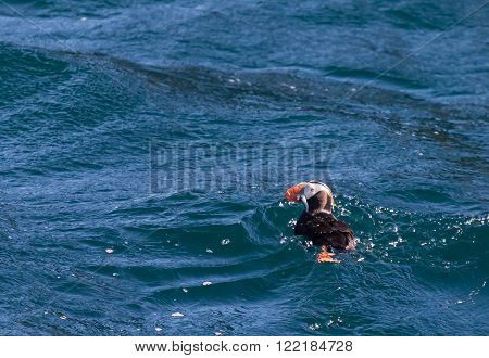 Tufted Puffin With Herring