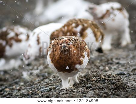 Alaska's state bird the willow ptarmigan in Denali National Park at the beginning of winter in the middle of molting from summer to winter plumage
