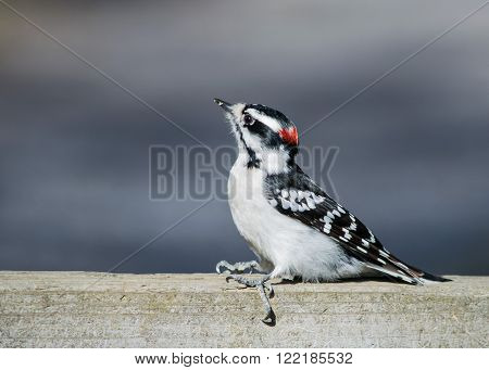 Downy Woodpecker perched on a wooden fence.