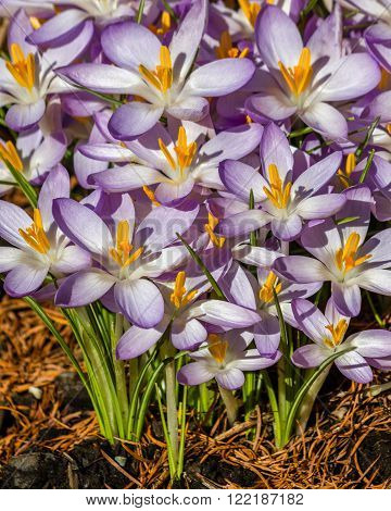 CLose up of flowers name Crocus in the garden outoor