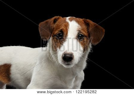Closeup Portrait of look within Jack Russell Terrier Dog isolated on Black background