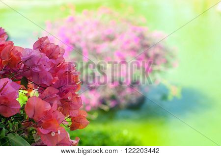 color background of pink blooming bougainvilleas flower