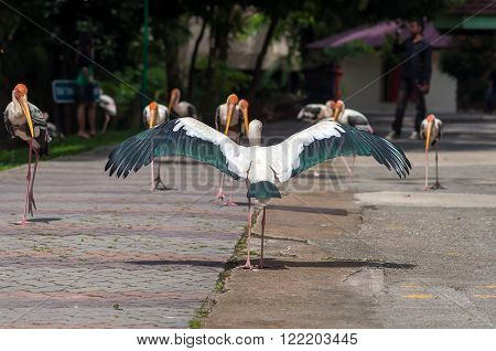 Painted Stork Bird (Mycteria leucocephala) with spread wings