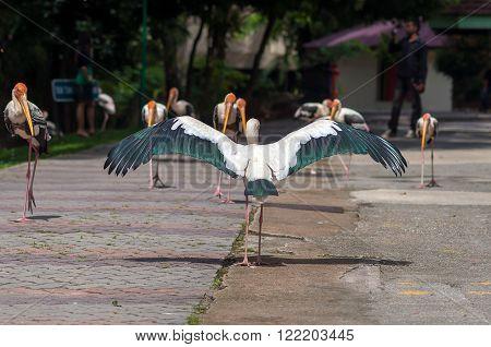 Painted Stork Bird (Mycteria leucocephala) with spread wings
