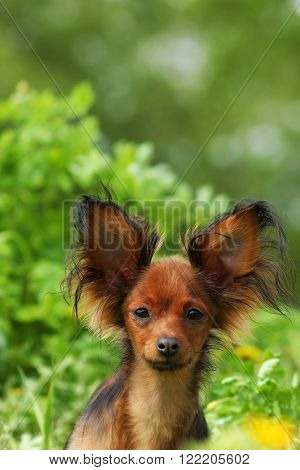 decorative dog Russian Toy Terrier on a background of summer greenery
