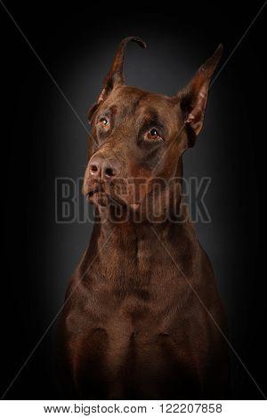 brown dog Doberman on a black background - portrait sad
