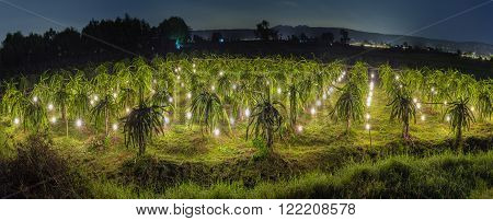 Panorama Garden dragon shine at night with lights shining in a long line along dragon fruit orchards as daylight to reverse dragon fruit. This progressive farming practices by farmers in crop