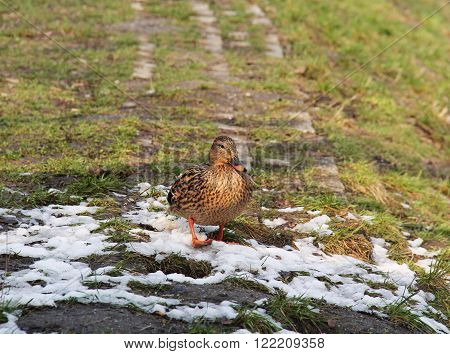 mallard duck female walking on the ground with remnants of snow in spring