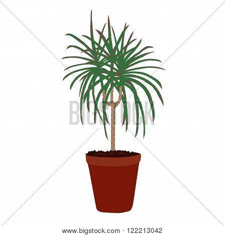 Houseplant: dracaena marginata. Plant isolated on white background.