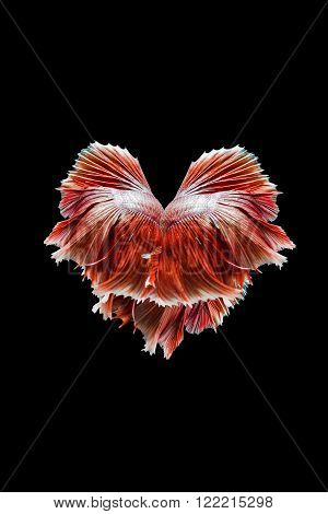 Heart Made of red siamese fighting fish isolated on black background.