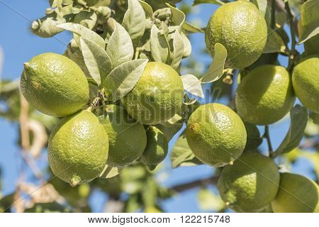 Unripe lemons on the tree, fruit spring ** Note: Visible grain at 100%, best at smaller sizes