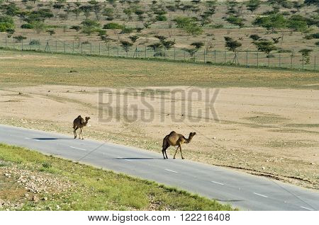 Camels on the road in Oman Middle East
