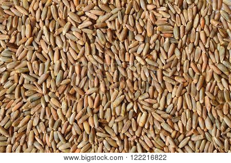 Rye Grain Seeds