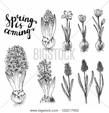 Set of vector hand drawn line art spring flowers and spring lettering. Spring hyacinth with bulb grape hyacinth crocus with bulbs ink drawings for easter decor garden backgrounds floral design.
