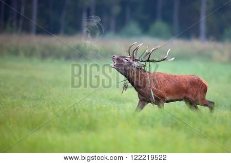 Red deer bellowing on the run in the wild