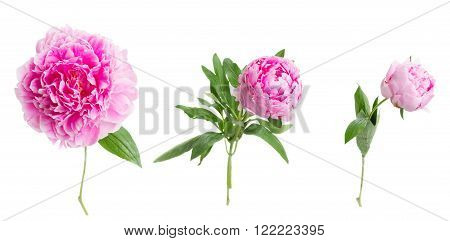 set of pink   peony flowers  isolated on white background