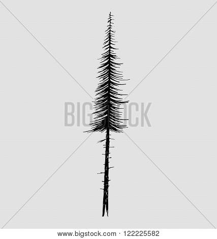 Tall fir tree nature design element. Vector