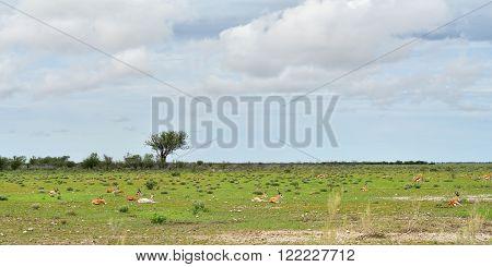 Springbok Antelopes, Namibia