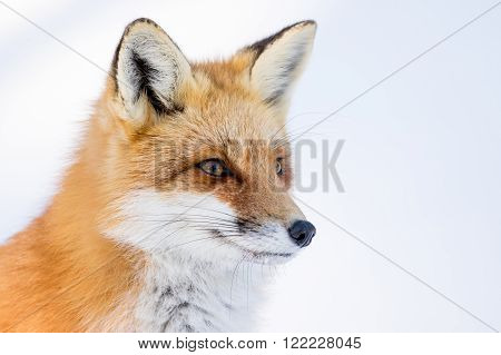 Red Fox - Vulpes vulpes standing in a snowy meadow facing right
