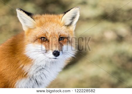 Red Fox - Vulpes vulpes with a bit of snow in its face and trees in the background