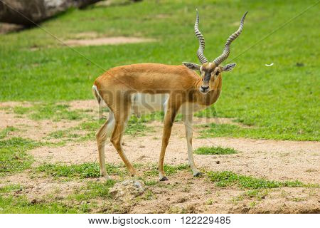 Blackbuck (Antilope cervicapra) or deer in zoo.