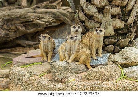 Family of Slender Tailed Meerkats (Suricata suricatta)