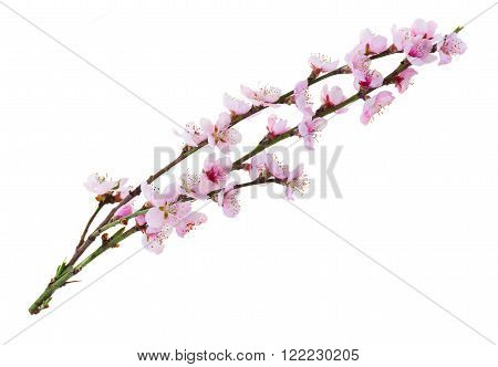 Cherry tree twigs  with blooming flowers isolated on white background