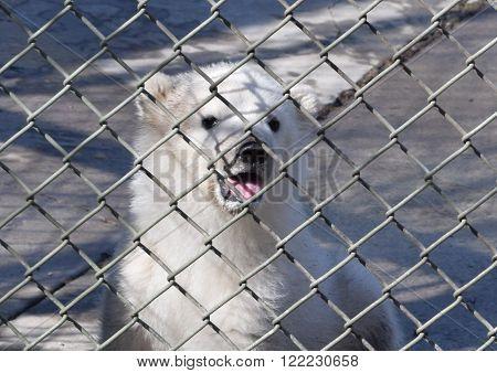 Photograph of a polar bear cub at the zoo.