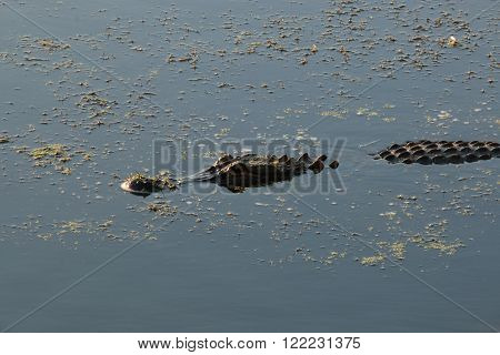 American Alligator swimming in marsh pond outdoors