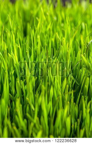 Green grass or sprout of wheat background texture ** Note: Shallow depth of field