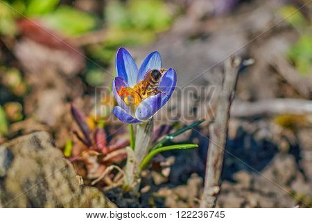 Just a bee is coollecting nectar on the lilac crocus in Spring time