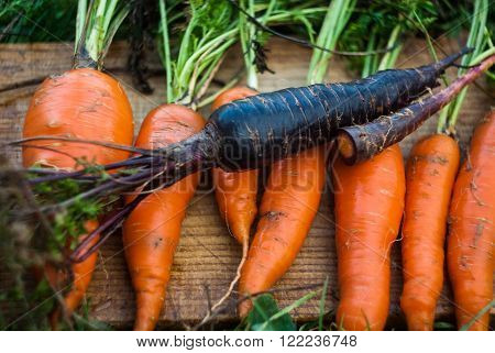 Unusual cross-bred violet carrot with orange carrots on the wooden tablet