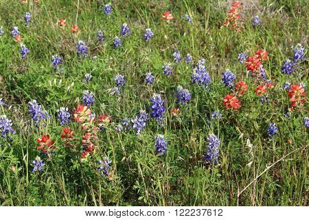 Texas Indian paintbrush flowers among bluebonnets in a field