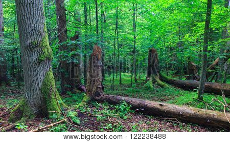 Huge old oak tree moss wrapped in morning against juvenile deciduous stand of Bialowieza Forest,Poland,Europe