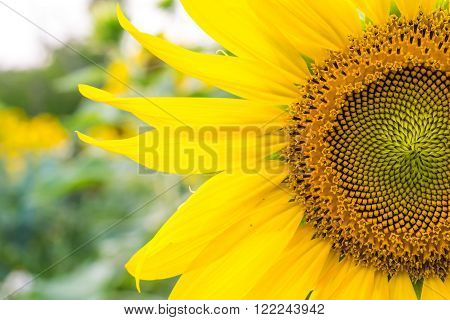 Sunflower bloom close up  for the background